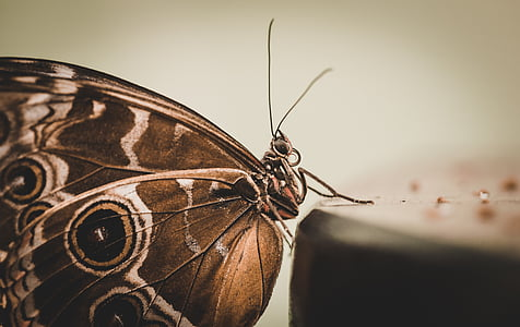 closeup photography of common buckeye butterfly