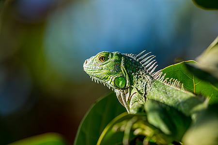 green bearded dragon on leaf