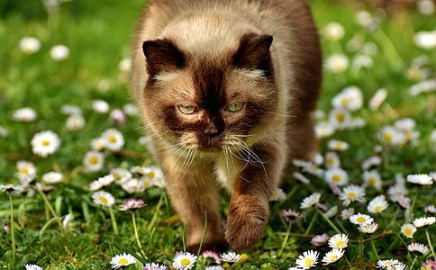 long-coated brown cat