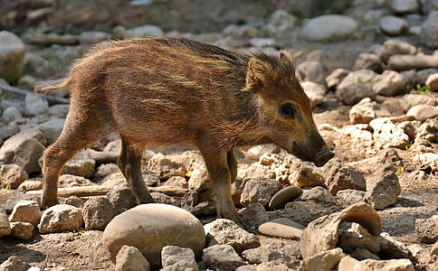 brown boar walking on brown sand