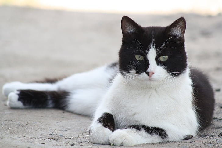 closeup photo of short-furred white and black cat