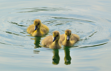 three ducklings on body of water