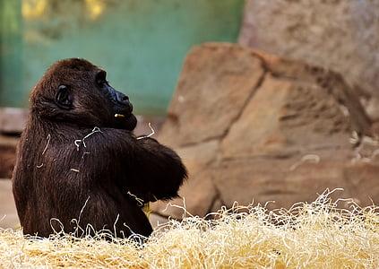 Gorilla on hay