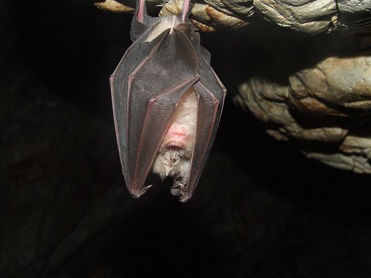 black bat hanged in cave