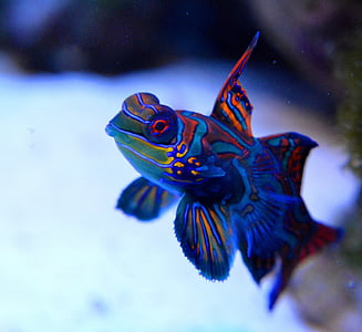blue and red aquarium fish photography