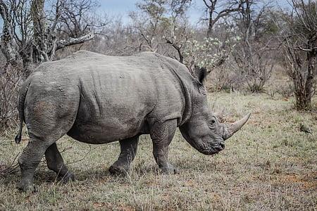 gray rhino on grass field