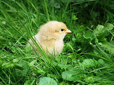 yellow chicken hatchling on grass