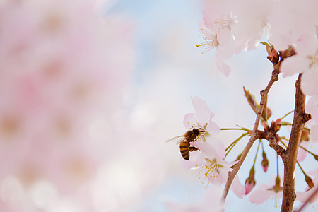 shallow focus photography of honeybee harvesting pollen from pink cherry blossom flower