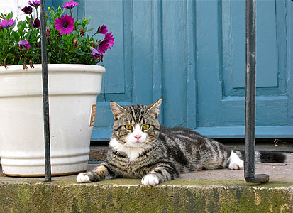 brown tabby cat beside pink potted osteospermum flowers and blue wooden doors