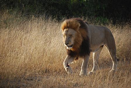 brown lion near brown grasses