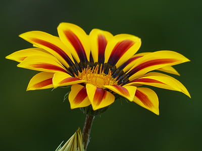 close-up photography of yellow and red petaled flower