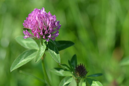 selective focus photography of purple clover flower
