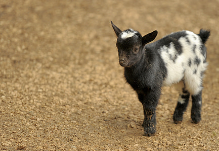 goat kid on brown soil