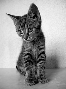 silver tabby kitten near white wall