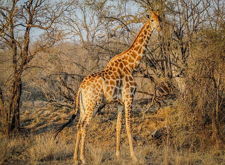 wildlife photography of giraffe