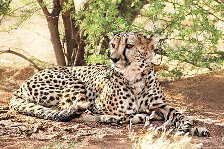 resting brown and black cheetah under green leaf plant