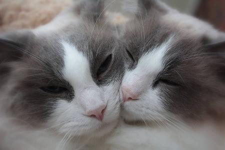 two gray-and-white cats