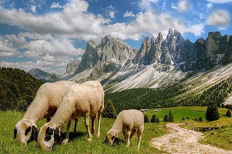 three beige sheep's on green grass