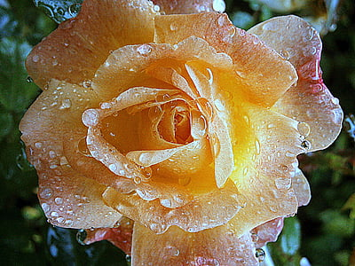 yellow rose flower with water droplets in close-up photography