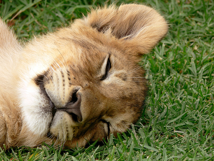 lion cub on grass