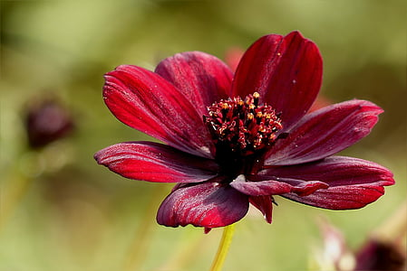 closeup photography of red cosmos flower