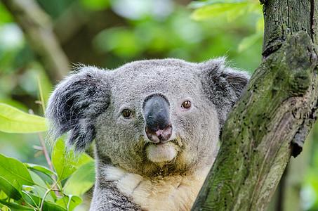 gray koala
