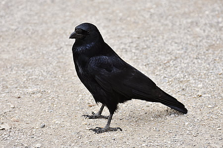 photo of black crow on beige soil