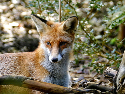 selective photography of fox