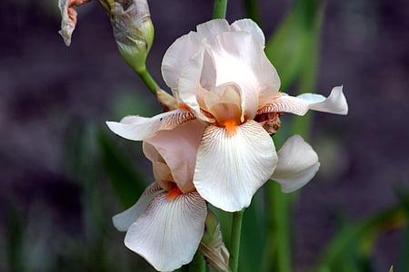 selective focus photography of white and orange iris flower
