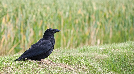 crow on grass field