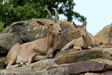 two goats on rock