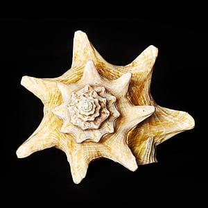 yellow seashell