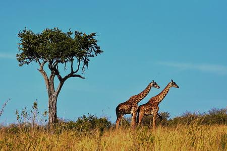 two giraffes near tree