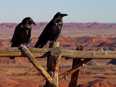 two black crows perched on brown wooden fence at daytime