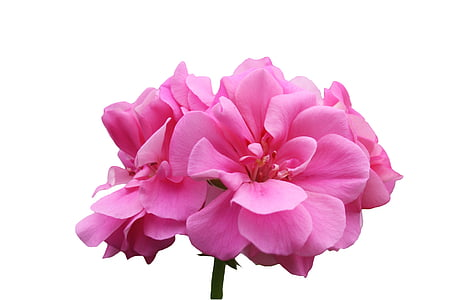 pink geraniums in bloom close up photo