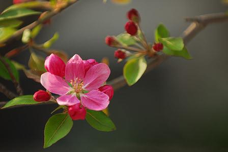 pink 5-petaled flower plant