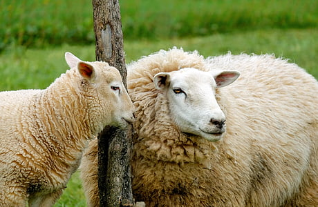 two brown sheeps near on the pole