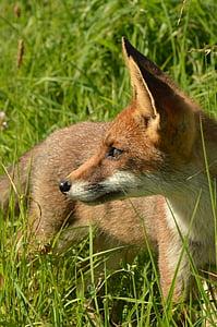 brown fox on grasses