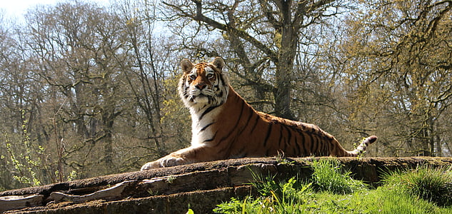 tiger sitting down on stone surrounded trees during daytime