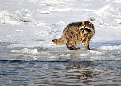brown raccoon on snowfield