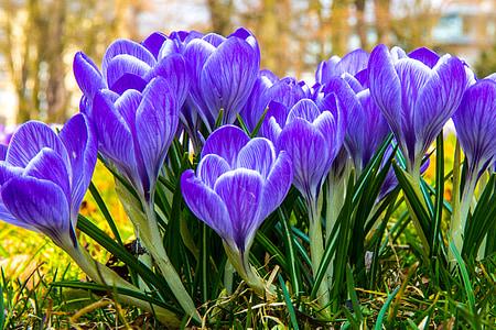 purple crocus flowers in bloom
