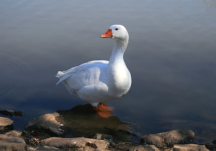 goose near body of water