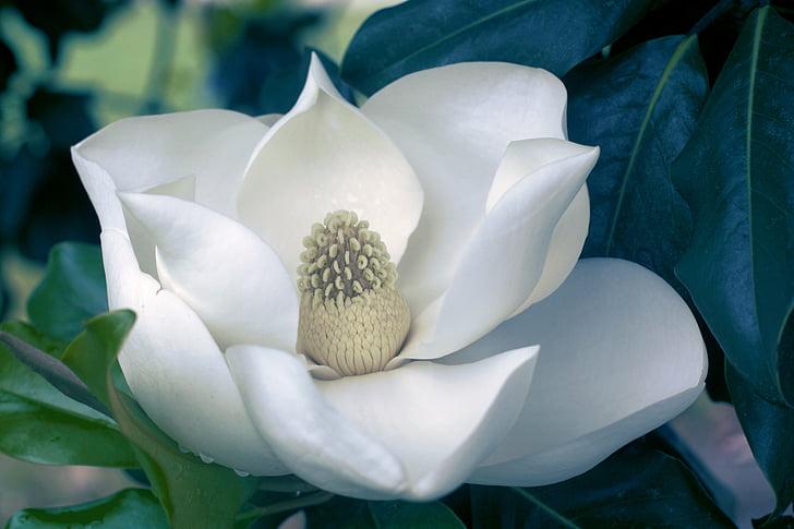 white magnolia in bloom macro photo