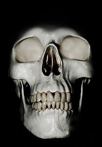 white human skull model
