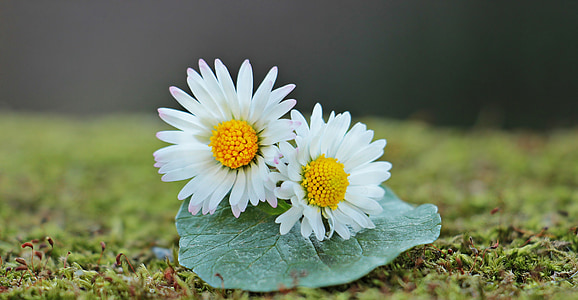 white and yellow daisy flowers on green leaf selective focus photography