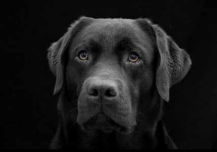 closeup photography of Labrador retriever