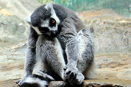 grey primate sitting on rock