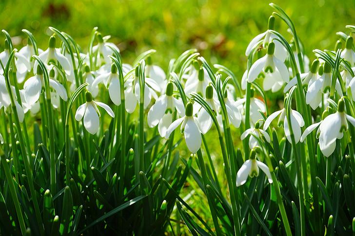 snowdrop, blossom, bloom, spring flower, plant, close