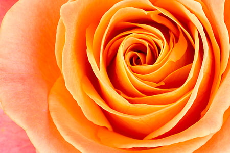 close up photo of orange rose