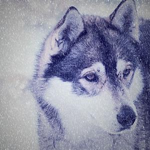 black and white Siberian husky screengrab